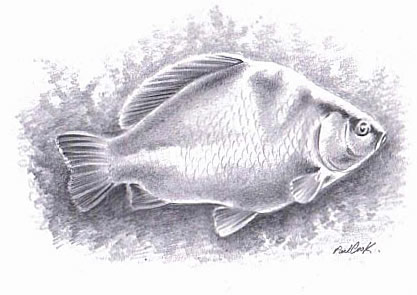 chub drawn with pencil